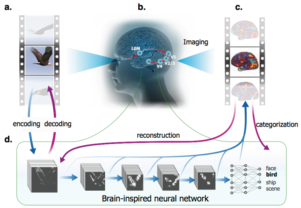 Deep convolutional networks explain substantial variance in fMRI responses during movieviewing